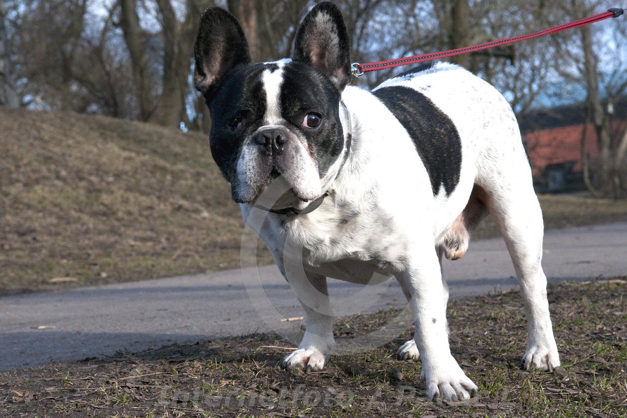 Hundfoto Gulliver